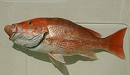 A Red Snapper showing the signs of fish barotrauma. An example of the fish that can be returned using the Fish Saver Device.